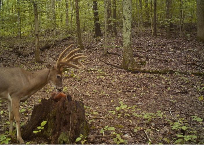 Deer Hunting Focusing On One Mature Buck